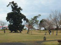 観音さくらの里の桜が見頃を迎え始めています